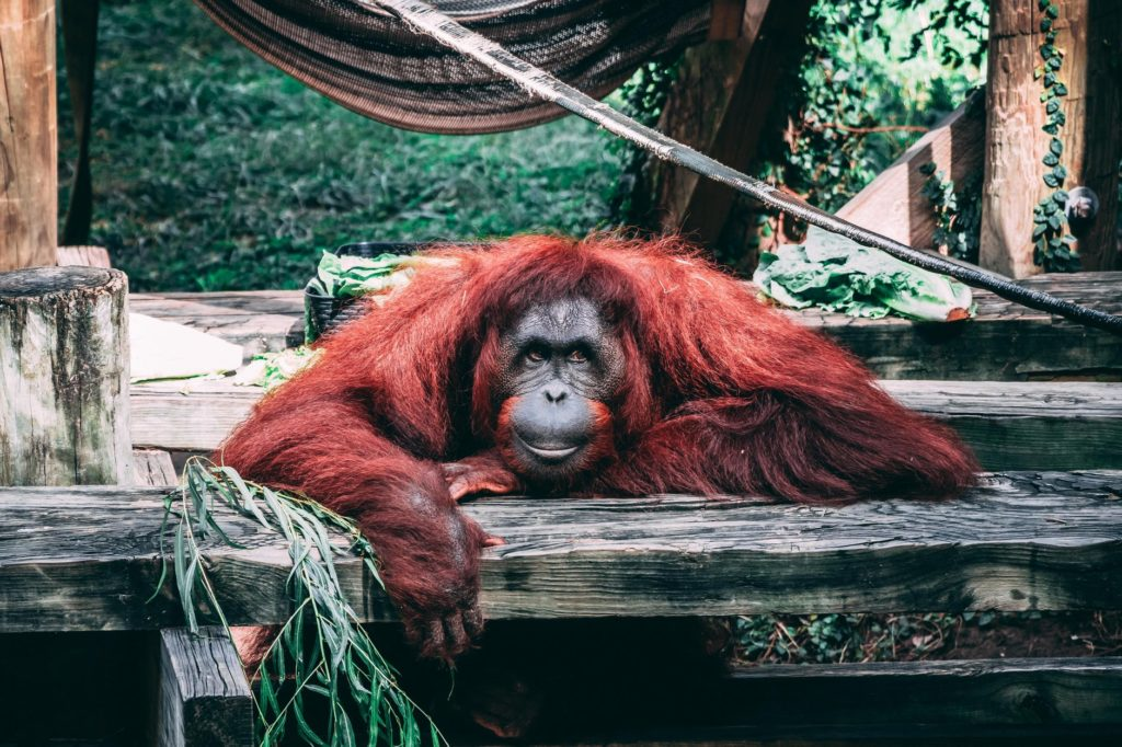 Orangutans Can do Some Workouts Too